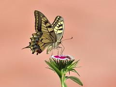 Papallona Reina (Porschista) Tags: jarddomstic maresme catalunya papallonareina papiliomachaon papallona buitterfly mariposa mariposareina flor flo fleur flower cavell clavel calvelchino clavellina clavellxins dianthuschinensis