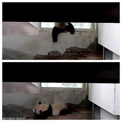 Ouch.  That had to hurt. (my heart is still pounding) (heights.18145) Tags: smithsoniansnationalzoo ccncby beibei meixiang panda bear endangeredspecies animals beifall falldown windowsill daredevil