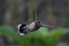 Incoming Hummer (Linda Ramsey) Tags: summer bird rubythroatedhummingbird hummingbird