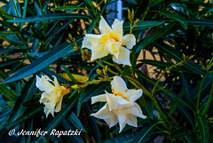 Yellow oleanders (Bernsteindrache7) Tags: summer landscape park sony alpha 100 color outdoor blossom bloom blume yellow