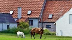 Zomers Zingem (08) - He, kleine ga je mee? (Johnny Cooman) Tags: zingem vlaanderen belgi bel natuur belgium  flemishregion flandre flandes flanders flandern blgica belgique belgien belgia flhregion vlaamseardennen eastflanders flora aaa panasonicdmcfz200 oostvlaanderen landschap cloudscapes wolk wolken wolkformatie wolkformaties nuages landscape tree boom baum arbre architectuur architecture horse caballo cavallo cheval paard pferd