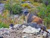 Posing (Jim Johnston (OKC)) Tags: marmots animasforksghosttown silverton sanjuanmountains colorado