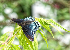 Red-spotted Purple on Sumac (mmorriso2002) Tags: butterfly insect nature flyinginsect redspottedpurple sumac tree backyardhabitat newjersey