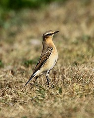 Another Wheatear Stutton Mill (Chris Baines) Tags: northern wheatear stutton mill suffilok