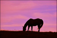 Hilltop Grazing (dianealdrich - Please read my profile) Tags: horse grazing ruralscene silhouette summertime latesummer summer hill hilltop