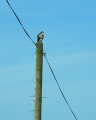 Surveying his territory (JulieK (finally moved to Wexford)) Tags: commonbuzzard bird telegraphtuesday telegraphpole wire perched nature wildlife fauna wexford htt canonixus170