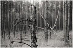 broken (Rainer Schlepphorst) Tags: germany brandenburg forest pine kiefern lausitz minoltax500 ilfordhp5