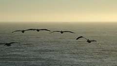 The end of land. (Matt Jalbert) Tags: pelicans birds pacific pacificocean sanfrancisco landsend wildkingdom
