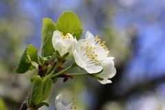 Spring Blossom (Crisp-13) Tags: white flower tree leaf spring branch blossom plum twig