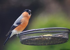 bullfinch (1) (Simon Dell Photography) Tags: uk family wild england orange cute male bird garden spring awsome messy bullfinch eater genus fringillidae 2015 passerine pyrrhula