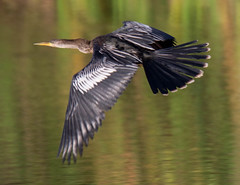 05-12-15-000015815.jpg (Lake Worth) Tags: bird nature birds animal animals canon wings florida wildlife feathers wetlands everglades waterbirds southflorida 2xextender sigma120300f28dgoshsmsports