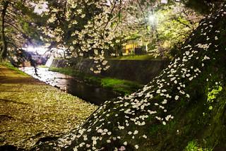 Sakura at Shukuragawa