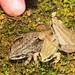 Boreal Chorus Frog