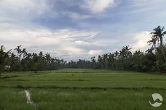 Dawn (neco.w) Tags: morning blue light sun field sunrise dawn rice paddy fields rise paddies paddys