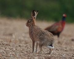 EUROPEAN BROWN HARE (LEPUS EUROPAEUS), SOUTH OXFORDSHIRE FARMLAND. (Gary K. Mann) Tags: wild england brown canon mammal hare european wildlife south farmland british oxfordshire europaeus lepus