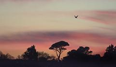 Photo of Monterey Pine Sunset