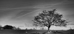 Sheep stop ! (CJS*64) Tags: bw tree monochrome one mono blackwhite nikon scenery alone sheep shade nikkor cjs whiteblack nikkorlens craigsunter cjs64