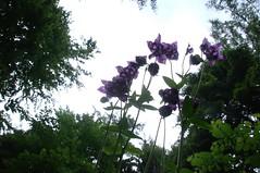 Upskirt (Elliott Bignell) Tags: flower schweiz switzerland woods purple suisse ostschweiz lila aquilegia bloom mauve blau svizzera blume rheintal wald blten rhinevalley upshot walenstadt berschis gonzen