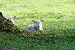 Spring is here... (zapperthesnapper) Tags: cute rural spring sheep cumbria lambs baa farmanimals springlambs