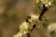 Bee on plum blossoms (Meastropulation) Tags: blossom blossoms plum bee biene plumblossom plumblossoms bienen pflaume pflaumenblte pflaumenblten