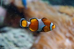 DSC_8400 (slamto) Tags: australia sydneyaquarium sydneysealifeaquarium fish bokeh