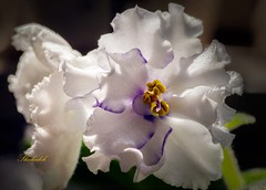african-violet10 (shadijan) Tags: flowers white africanviolets natuer