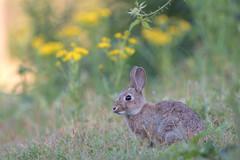 Young rabbit (Guido de Kleijn) Tags: rabbit solleveld nikond500 guidodekleijn nikon200500f56