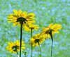 Petals in the Sun (Ruth Voorhis) Tags: flowers blossoms plants backlighting