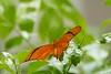 Iulia liblikas (Tarmo Gede) Tags: iulia dryasiulia julia butterfly juliabutterfly