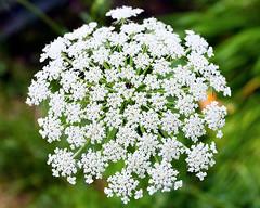 Summer Flora (hz536n/George Thomas) Tags: summer copyright flower canon flora michigan july canon5d upnorth prescott 2016 ef1740mmf4lusm cs5