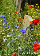 Summer Remembrance (Holfo) Tags: uk cromer eastanglia england norfolk flowers summer graveyard cornflower poppies colour color nikon d5300 bright outdoors plant flowerbed outdoor flower