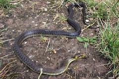 bjelica, Kotari (mdunisk) Tags: bjelica zamenislongissimus neotrovnica gu zmija zmije parkprirodezumberackosamoborskogorje pleivica podvrkobukovje rude