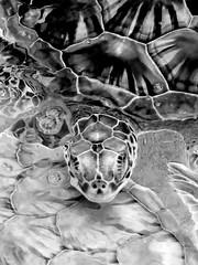 Green Sea Turtle in Mono #2 (-j-o-s-e-) Tags: ocean sea blackandwhite bw green nature monochrome mono pattern adult turtle farm sub shell grand tropical caribbean cayman endangered animalplanet cheloniamydas captivity herbivore programme animalworld