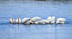 American White Pelicans on Saratoga Lake (USFWS Mountain Prairie) Tags: nature wildlife conservation pelican whitepelican usfws americanwhitepelican nwrs