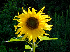 Solitary Sunflower (scottprice16) Tags: england lancashire clitheroe clitheroecastle castlepark summer august colour sunflower yellow canong10
