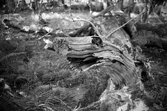 This situation's becoming dire (OR_U) Tags: 2016 oru langleywoodnationalnaturere langleywood forest bw blackandwhite blackwhite schwarzweiss monster tree log twentyonepilots fern langleywoodnationalnaturereserve
