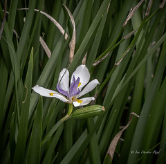 Native Iris (idunbarreid) Tags: iris native doublefantasy