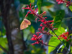 a vida em ao (Gigica Machado) Tags: lifeonnature natur nature natureza naturaleza borboleta papillon butterfly mariposa flower flowers redflower flor flores fleur fleurs innatura outdoor