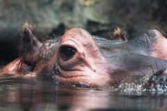 Hippeye - Explored (RPahre) Tags: eye zoo stlouis missouri hippo hippopotamus stlouiszoo