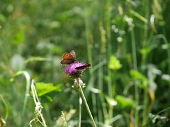 two (jazzon1963) Tags: flowers butterfly estate fiori montagna valdaosta farfalle prati