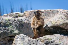 Yellow-bellied Marmot (stonejd1946) Tags: nature colorado yellowbelliedmarmot squirrel pagosasprings mammals places wolfcreekpass unitedstates us