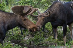 IMG_9448 bull mooses (starc283) Tags: moose nature naturesfinest mountains s starc283 forest flicker flickr rit rut rockymountains colorado