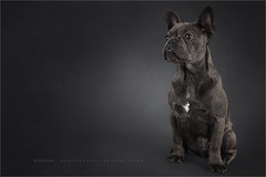 Time for Jack (Marijke M2011) Tags: frenchbulldog dog dogportrait greydog friend hond hondenportret animal pet petportrait cute patience huisdier indoor studio studiolightning