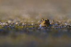 Frog (Davor Desancic) Tags: livermore morganterritory california ebparksok frog