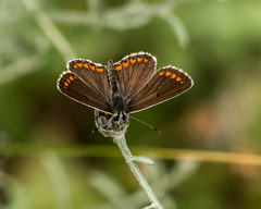 Brown Argus butterfly (DigPeter) Tags: brownargus bulgaria butterfliesblues butterflymoth europe peterphoto dobrostan plovdiv