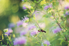 The first time someone shows you who there are, believe them! (Sandra H-K) Tags: bokehwednesday bokeh hbw green purple beebalm nature outside outdoors dof depthoffield dreamy serene softfocus soft summer pretty bug insect moth hummingbirdclearwingmoth
