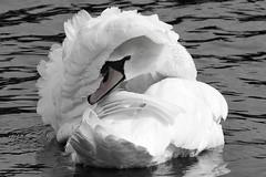 Mute Swan 2a (LeighBirder) Tags: mute swan cygnus olor hyde park london