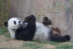 Bai Yun - San Diego Zoo (Rita Petita) Tags: baiyun sandiegozoo sandiego california china panda giantpanda