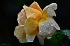 ~~ Concours de beaut dans mon jardin... ~~ (Jolisa) Tags: rose jaune yellow gouttelettes pluie rain septembre2016 fabuleuse