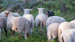 Contest of Wills (explored 2016-08-17) (Bas Bloemsaat) Tags: sheep sheepdog nature multiple